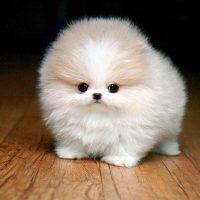 Белый круглый щенок