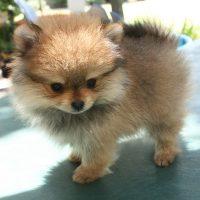 Кругленький щенок на поводке