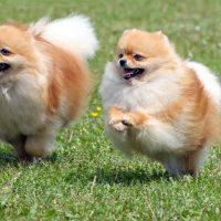Два шпица бегут по лужайке