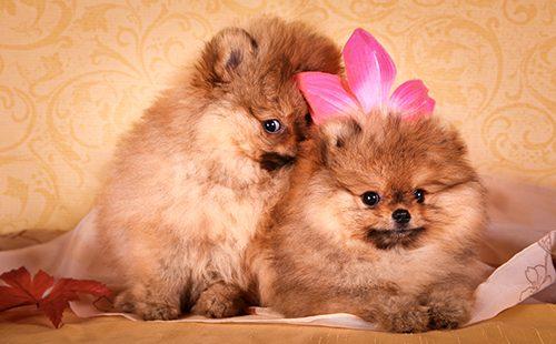 Два милых пёсика прижались друг к другу
