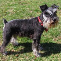 Бородатый пёс в красном ошейнике