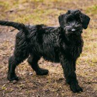 Забавный чёрный щенок