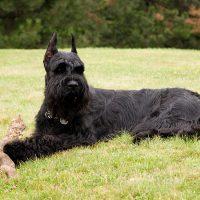 Чёрный пёс отдыхает