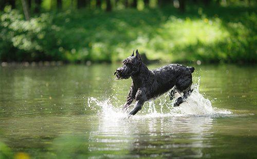 Радостный чёрный пёс бежит по воде
