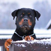 Бдительный пёс выглядывает из-за забора