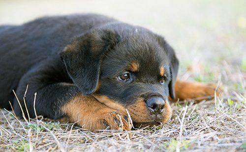 Лежащий щенок ротвейлера