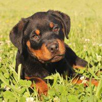 Серьёзный щенок в траве