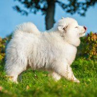 Белый щенок шагает по траве