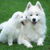 Самоедская лайка со щенком
