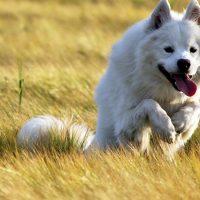 Самоедская собака на бегу