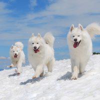 Бегущие белые собаки