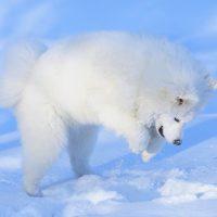 Белый пёс играет в снегу