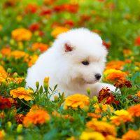 Щенок самоедской собаки на поле календулы