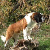 Мощный пёс привстал на камне
