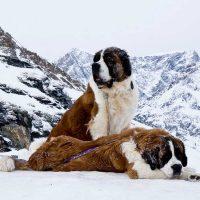 Два сенбернара зимним утром