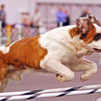 Прыжок большого пса