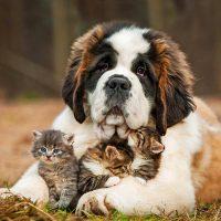 Добрейший пёс с котятами между лап