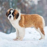 Молодой сенбернар на снегу