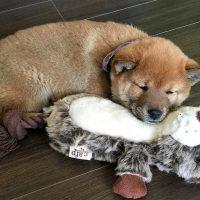 Щенок спит с игрушкой