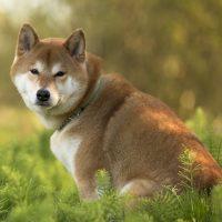 Угрюмый сиба-ину похож на волка