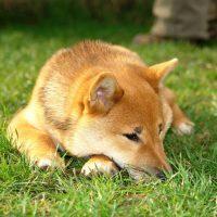 Сиба-ину уснул на траве