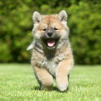 Бегущий щенок сиба-ину