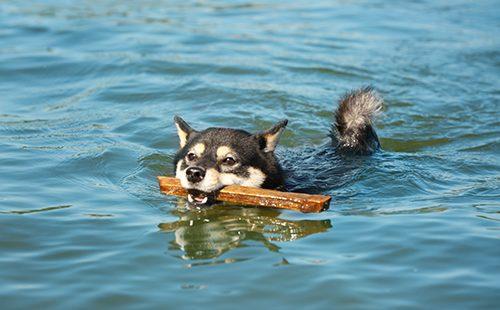 Сиба-ину плывёт с палочкой в зубах