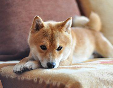 Порода собак сиба-ину: как ухаживать за японским карликом-«улыбакой»