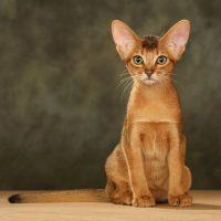 Абиссинская кошка сидит