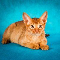 Рыжий кот на голубом фоне