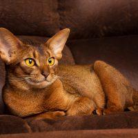 Роскошный кот на диване