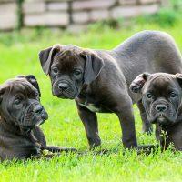 Три чёрных щенка