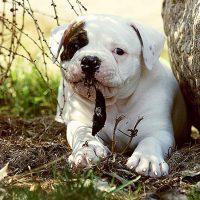 Забавный щенок амбуля