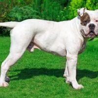 Породистый пёс в профиль