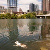 Американский бульдог плавает в реке Колорадо