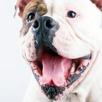 Большой лающий пёс