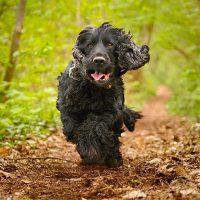 Чёрный пёс бежит на осенней дорожке