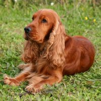 Рыжий пёс лежит на траве