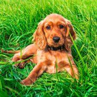 Рыжий щенок лежит в траве
