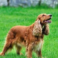 Длинноухий пёс на поле