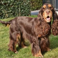 Портрет шоколадной собаки