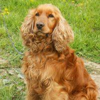 Рыжий и ушастый пёс