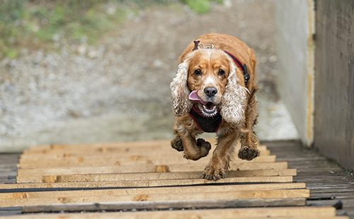 Весёлый пёс бежит по мостику