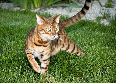 Кошки бенгальской породы