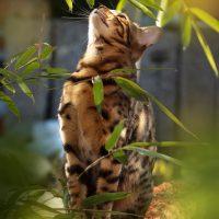 Бенгальский кот мечтает в листве