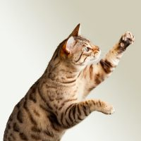 Бенгальский котёнок что-то ловит