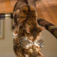 Кот на зеркальном столе