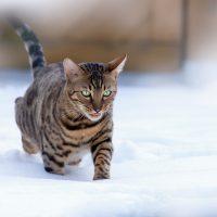 Кот идёт по снегу