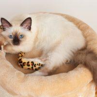 Маленький кот бирманской породы сидит в подстилке