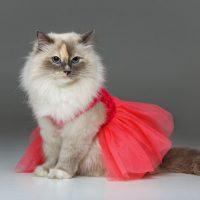 Бирманская кошка в красной юбке